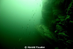This is a schoal of saithe at 150 ft. in voldafjorden. by Harald Fauske 